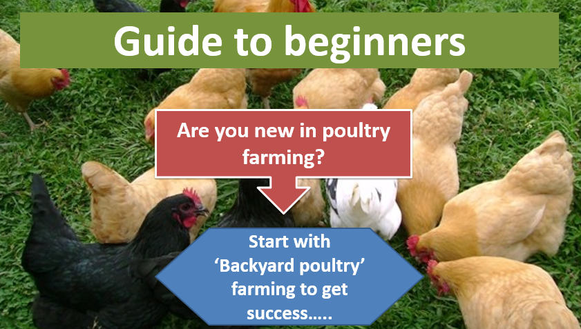 Backyard poultry farming for beginners in poultry management practices