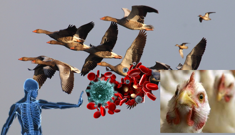 Migratory birds spread and carry which strains of avian influenza viruses
