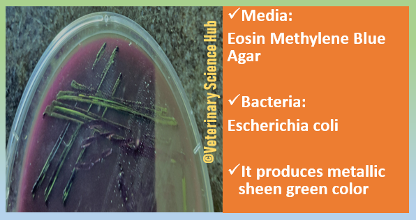 Escherichia coli on Eosin Methylene Blue (EMB) agar