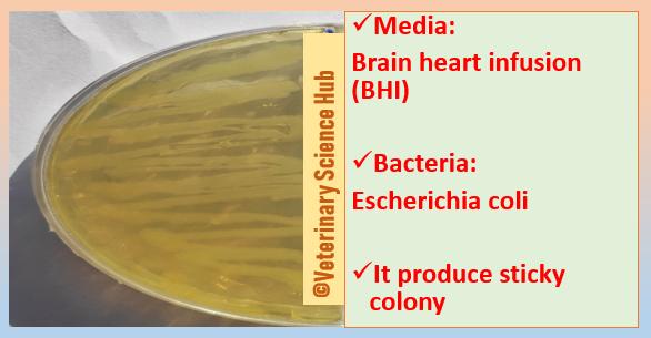 Escherichia coli on Brain heart infusion (BHI) agar