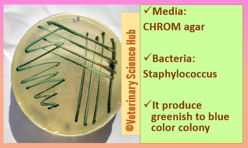 Staphylococcus on CHROM agar