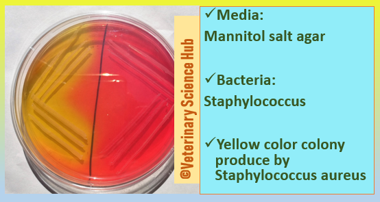 Staphylococcus on Mannitol salt agar