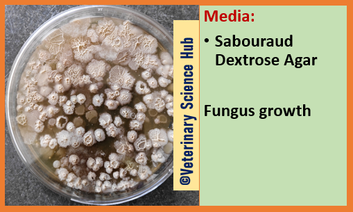 Fungus growth on Sabouraud Dextrose Agar
